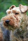 Terrier galés imagen de archivo