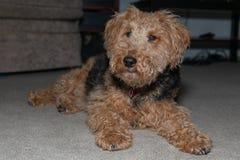 Terrier galés que miente en la opinión completa del cuerpo de la alfombra que mira la cámara imagen de archivo