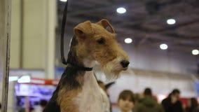 Terrier galés que se sienta en el pasillo y que mira alrededor, exposición del perro, animal doméstico pedigrí almacen de video