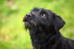 Terrier-hond stock foto