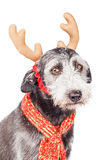 Terrier-Hond die de Oren van het Kerstmisrendier dragen Stock Afbeelding