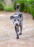 Terrier-Hond die vooruit in openlucht lopen Stock Foto's