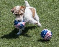Terrier-hond met ballen Royalty-vrije Stock Foto