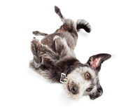 Terrier hund som över rullar Arkivbilder
