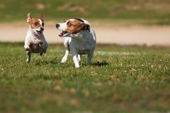 Terrier-Hunde Jack-Russell, die auf das Gras laufen lizenzfreies stockfoto