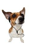 Terrier Hundejack-Russell mit Kopfhörern Stockfotos