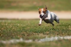 Terrier-Hundelack-läufer Jack-Russell auf dem Gras lizenzfreies stockbild