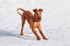Terrier irlandés juega en la nieve en el invierno imagen de archivo