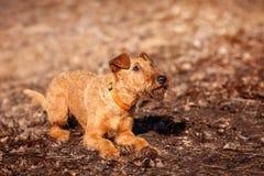 Terrier irlandés pone en la tierra y consigue listo para jugar Imagenes de archivo