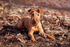 Terrier irlandês coloca na terra e em olhar a câmera Imagem de Stock Royalty Free
