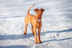 Terrier irlandês está na neve Imagens de Stock