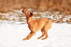 Terrier irlandês joga na neve no inverno Fotos de Stock Royalty Free