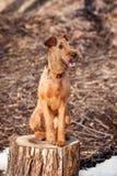 Terrier irlandês senta-se em um coto feliz Imagem de Stock Royalty Free