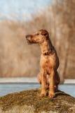 Terrier irlandês senta-se em uma rocha em um fundo das árvores Fotografia de Stock Royalty Free