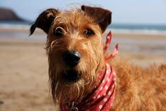 Terrier irlandais sur la plage Image libre de droits