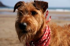 Terrier irlandais sur la plage Photographie stock libre de droits