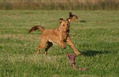 Terrier irlandese fotografie stock