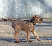 terrier irlandese Immagine Stock