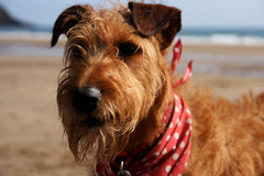 Terrier irlandese sulla spiaggia Fotografia Stock Libera da Diritti