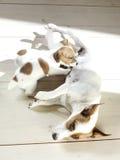 Terrier Jack-Russel Lizenzfreie Stockfotografie