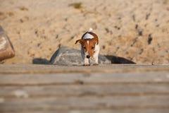 Terrier Jack-Russel Lizenzfreie Stockbilder