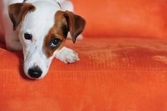 Terrier Jack-Russel Lizenzfreie Stockfotos
