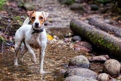 Terrier Jack-Russel stockfotografie