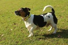 Terrier Jack-Russel Lizenzfreies Stockbild