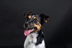 Terrier Jack-Russel Stockbild