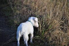 Terrier Jack-Russel Stockfoto