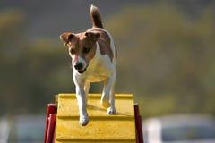 Terrier Jack-Russel auf einer Brücke Stockbilder