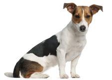 Terrier Jack-Russell, 12 Monate alte, sitzend Lizenzfreie Stockfotografie