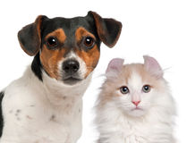 Terrier Jack-Russell, 2 und eine Hälfte Jahr alt und Lizenzfreies Stockbild