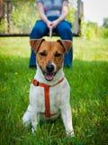 Terrier Jack-Russell Lizenzfreie Stockfotos