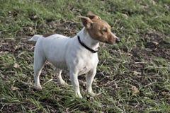 Terrier Jack-Russell Stockfotografie