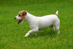 Terrier Jack-Russell Stockfotos