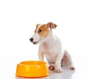 Terrier Jack-Russell Lizenzfreie Stockbilder