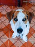 Terrier Jack-Russell Lizenzfreies Stockbild
