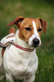 Terrier Jack-Russell Lizenzfreie Stockfotografie