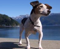 Terrier Jack-Russell Stockbilder