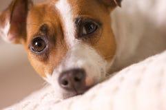 Terrier Jack-Russell, der auf einem Kissen Nickerchen macht Stockfotos