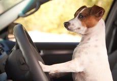 Terrier Jack-Russell, der eine Auto-Fahrt genießt Stockbild