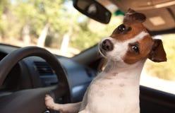 Terrier Jack-Russell, der eine Auto-Fahrt genießt stockfotos