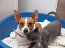 Terrier Jack-Russell mit Kätzchen in einem Korb Stockbilder