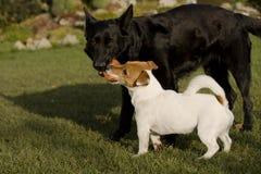 Terrier Jacks Russell Lizenzfreie Stockfotos