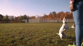 Terrier Jacks Russell geht auf seine Hinterbeine outdoor stock video footage