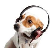 Terrier jest ubranym hełmofony i kołnierz Fotografia Stock
