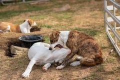 Terrier joven lindo de Russel del enchufe dos que juega y que se muerde fotos de archivo