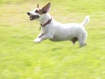 Terrier JRT Jacob del Jack Russell che esegue 01 fotografia stock libera da diritti