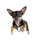 взгляд игрушки верхней части terrier jumpimg летания собаки Стоковая Фотография
